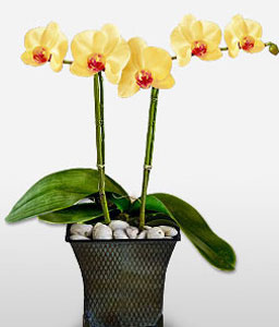 Phalaenopsis Yellow Orchids-Yellow,Orchid,Arrangement,Plant