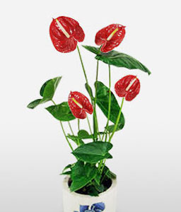 Crete Charms-Red,Anthuriums,Arrangement