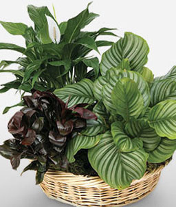 Exquisite Extravagance-Green,Plant