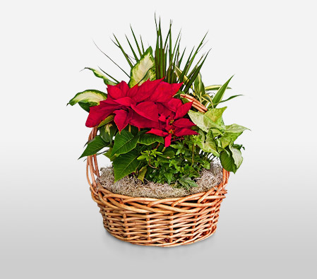Poinsettia In A Basket