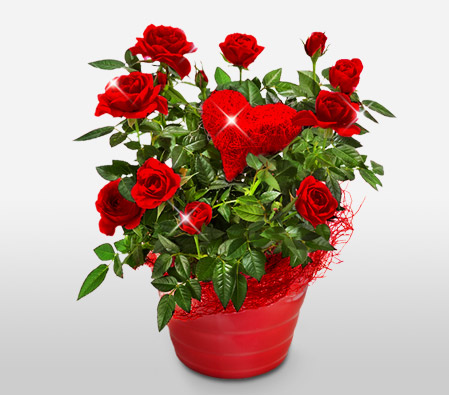 Valentine Roses <br><font color=red>Free Chocolates</font>