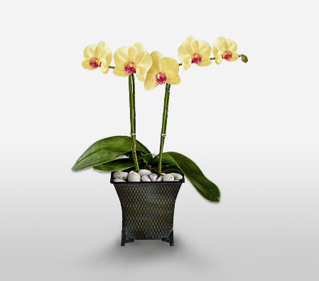 Phalaenopsis Yellow Orchids